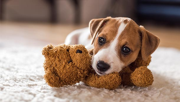 dog with teddy