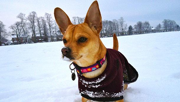 Chihuahua Snow
