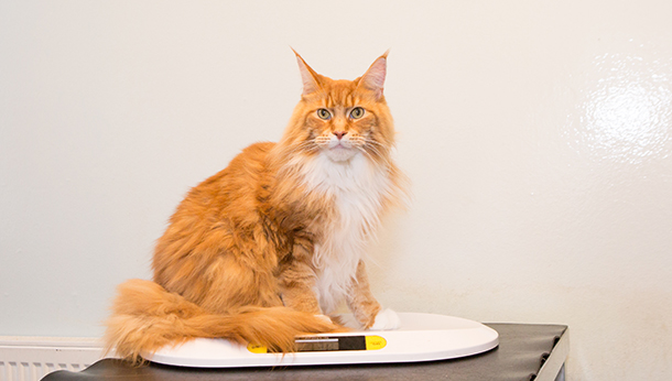 ginger cat on table
